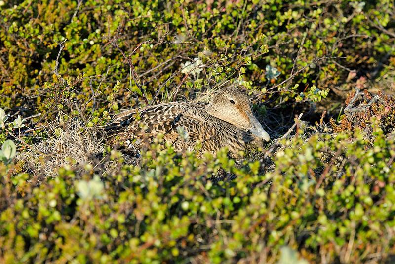 Eider duck on nest 2 Iceland June 2012