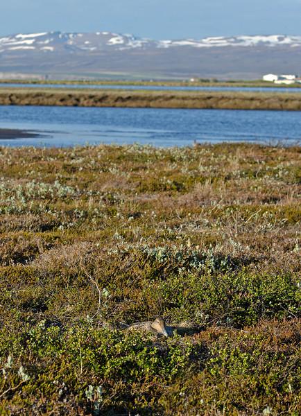 Eider duck on nest 1 Iceland June 2012
