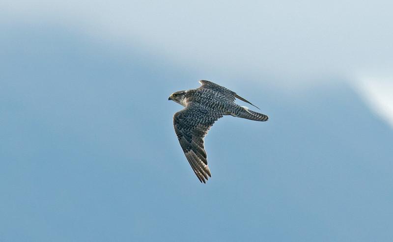 Gyr Falcon Iceland June 2012