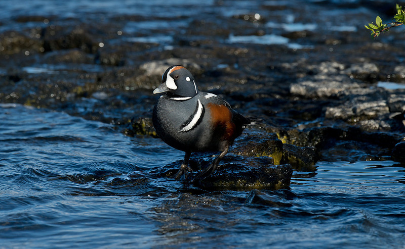 Harlequin Duck Iceland June 2012