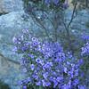 Believe it or not -- this is tea tree in bloom.