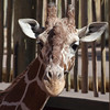 "Mr. Giraffe says, ""You lookin' at me?!?"""