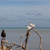 Two Whiskered Terns and a Brown Noddy enjoying the great morning. Whiskered Terns are the birds that got us into birding. They don't usually visit Tubbataha, I guess they wanted to greet us.
