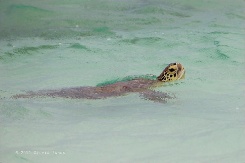 GREEN SEA TURTLE <i>Chelonia mylas</i> Tubbataha Reef, Sulu Sea, Philippines