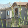 Ocotillo as seen from the back door at Michael and Cathy's house.