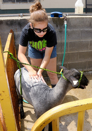 Don Knight/The Herald Bulletin<br /> Caroline Fraker, 15, washes her sheep at the 4-H Fair on Tuesday. The 4-H Sheep show is Wednesday.