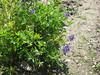 12 augustus 2012 - lupine van een van de bloemenmengsels