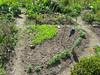 12 augustus 2012 - de raapstelen beginnen gewoon opnieuw, randje Afrikaantjes, veldsla en lepelblad nieuw ingezaaid, rechts en links van de uil.