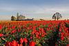 Tulip Fields at Sunrise, Wooden Shoe Bulb Co., Woodburn, Oregon