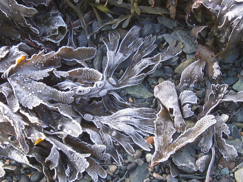 Frossen tang-Frozen kelp