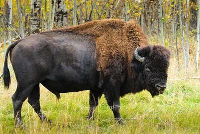 //www.dreamstime.com/stock-images-wood-bison-image28780774