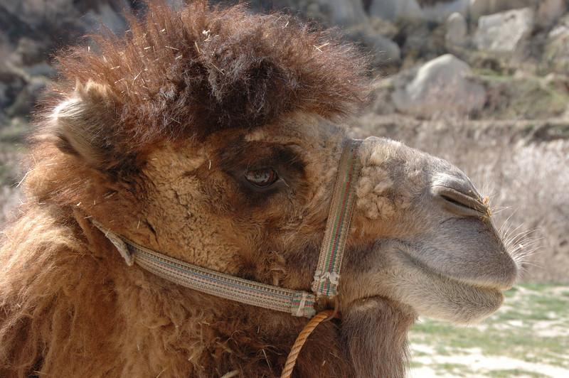 Cappadocian camel.