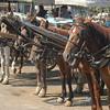 Horses, Princes Islands, Turkey.