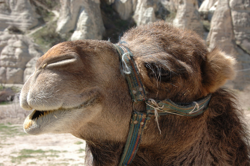 Camel, Cappadocia, Turkey.