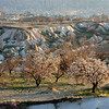 Spring landscape in Cappadocia, with flowering apricot trees.