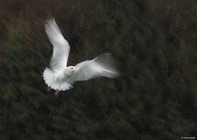 """<center> Image © 2011/Denise Ippolito Photography  Homer Alaska ~ Glaucous-winged Gull </center>  <p align=""""justify"""">This blur was captured while on a small boat in Alaska, I hand held my Canon 100-400mm lens. My shutter speed  was 1/20 sec. It was snowing so I tried to wait for the gull to be against the dark mountainous background. I added some Unsharp Mask to help the snow look more squiggly.  To learn more about creating pleasing blurs check out  """"<a href=""""http://deniseippolito.com/prints/"""">A Guide to Pleasing Blurs</a>"""" that I co-wrote with <a href=""""http://www.birdsasart-blog.com/"""">Arthur Morris</a>.  <P> ______________________________________________________________ denise ippolito <P> <P>"""