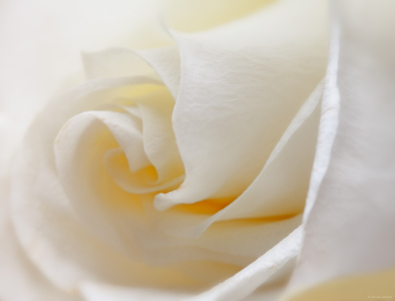 """<center> Image © 2011/Denise Ippolito Photography </center> <P> <p align=""""justify"""">I loved the delicate look of this white rose and decided before capture that I would create a soft, dreamy look. I started with my Canon EF 100mm f/2.8 USM Macro Lens and two stacked extension tubes. I used an ISO of 200, and an F/13. My shutter speed was 1.6 sec. so I used my tripod (even I use a tripod sometimes). This is pretty much full frame with just a little off for composition. I wasn't concerned about blurring out the background since there was only a sliver in the LRC  from my wooden bench that I was shooting on. This was side lit so I used my <a href=""""http://www.huntsphotoandvideo.com/detail_page.cfm?ProductID=6535"""">Promaster SystemPRO ReflectaDisc 5 in 1 Plus - 32"""" </a> Gold Reflector supplied to me by Gary Farber at <a href=""""http://www.huntsphotoandvideo.com/"""">Hunts Photo and Video</a>. I chose the gold disc as I often do because I like the warmth that it adds to the image. In post processing I used the<a href=""""http://www.niksoftware.com/index/usa/entry.php""""> Nik Color Efex </a>Vignette Blur Filter (save 15% on Nik Software by using the code BAA)to add the soft blur around the outside of the image. I made some final tweaks in Photoshop with curves. This image represents the vision I had for this rose the minute I saw it.  <P> ______________________________________________________________ denise ippolito <P> <P>"""