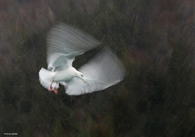 <center> Image &copy; 2011/Denise Ippolito Photography  Homer Alaska ~ Glaucous-winged Gull </center>