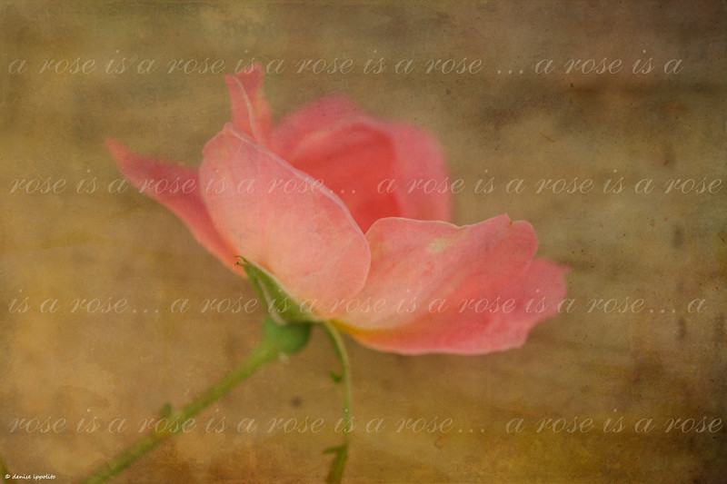 """<center> Image © 2011/Denise Ippolito Photography </center>  <P> <p align=""""justify"""">To create the image above I started with an image of a rose, then I added a couple of free texture overlays from <a href=""""http://shadowhousecreations.blogspot.com/"""">Shadowhouse Creations</a>. I then used the type tool to create the text on it's own layer. I lowered the opacity of the text layer until the text appeared lighter and more transparent. For the version below I desaturated the image to create a softer look. <P> <p align=""""justify"""">The meaning most often attributed to this saying is that when it is all said and done it is what it is. The actual line from the poem by Gertrude Stein titled Sacred Emily is     <p align=""""justify""""> Rose is a rose is a rose is a rose     Loveliness extreme.     Extra gaiters,     Loveliness extreme.     Sweetest ice-cream.     Pages ages page ages page ages.   <P> ________________________________ tutorial by denise ippolito <P>"""