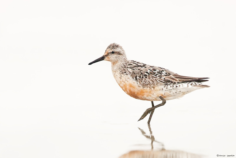 """<center> Red Knot, worn adult ~ Nickerson Beach 1/600 sec. at f/5.6, ISO 2000 Image &copy; 2011/Denise Ippolito Photography</center>  <p align=""""justify"""">I have recently received several emails regarding high ISO and noise :). One thing that I like to do in low light situations when I have to crank my ISO up is to make sure that I expose as far to the right as I can. I am shooting with the Canon 1D Mark III and each camera body will be a little different. My keeper rate in low light situations when using higher ISO has gone up considerably since I have been trying to """"slightly"""" over expose my images especially when there are some dark tones in the image. Fill flash would be good to use in this situation too. If you click on the image to see the larger version you can see that there is a slight amount of noise visible but I have not used (and never do) any special noise software other than what is found in Photoshop. I processed this image with CS3. I have CS3, CS4 and CS5 and have never felt the need for additional noise reduction software. On occasion I will give a double round of noise reduction or use my surface blur technique; Setting the Radius at 3 and the Threshold at 6. I may adjust those values when needed and I apply it selectively only to the background as I do with my regular noise reduction. Anyway I like the high-key look and I hope that this may help a few folks with some of their noise issues.   ______________________________________________________________ denise ippolito <P> <P>"""