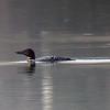 20110414-twin lakes loon