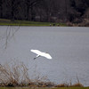 20110405-twin lakes great egret flying