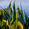 20090521-iris twin lakes 3