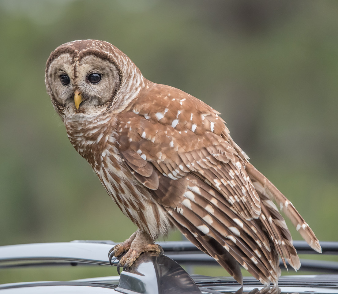• Location - Moccasin Island Tract Road<br /> • Immature Barred Owl