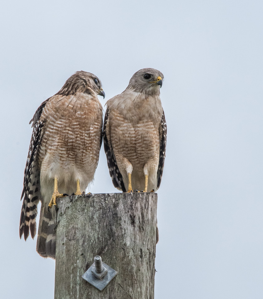 • Location - Moccasin Island Tract Road<br /> • Pair of Red-shouldered Hawks.  This is what I call togetherness