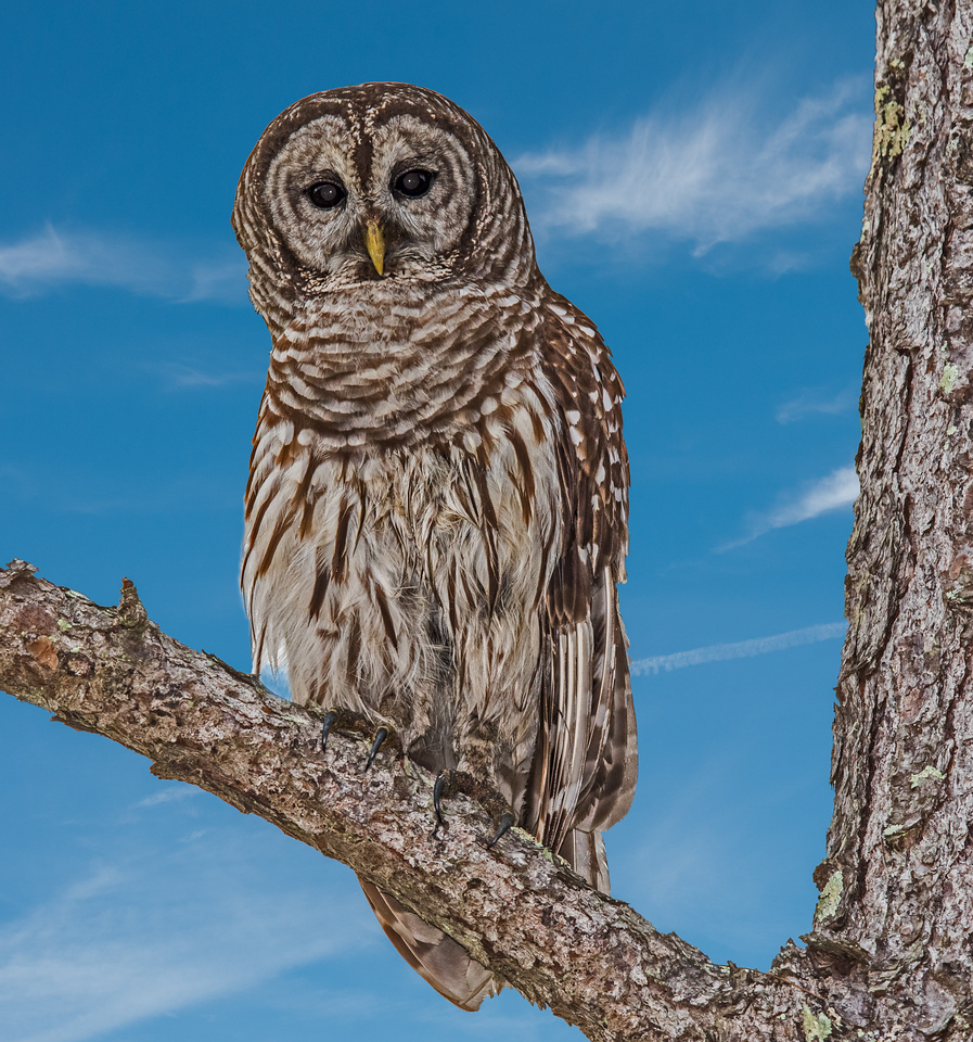 • Location - Moccasin Island Tract Road<br /> • Adult Barred Owl