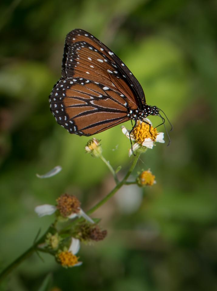 • Location - Stick Marsh<br /> • Monarch Butterfly