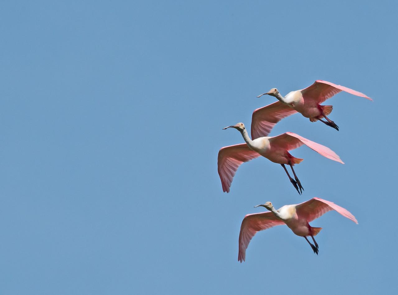 • Location - Stick Marsh<br /> • Trio of Roseate Spoonbills in flight