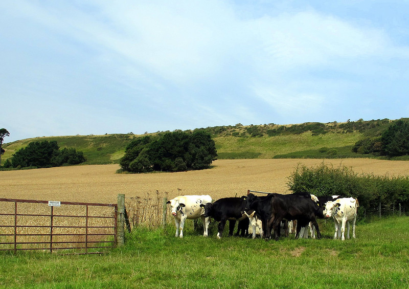 Kimmeridge occupants - wary young bullocks watch from a distance.