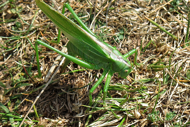 A lethargic young Green Cricket sits on the path.
