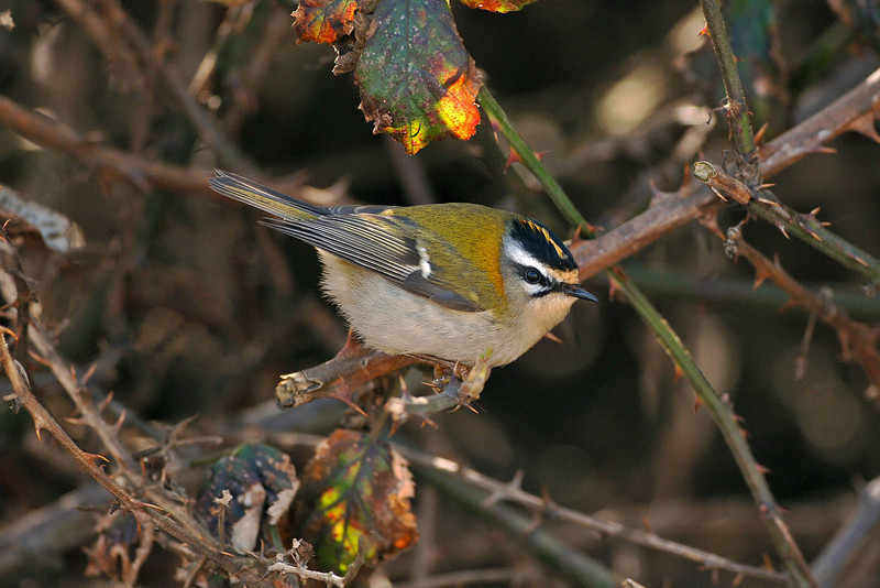 Firecrest 1 Seaforth March 2006