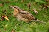 Wryneck 1 Seaforth September 2006