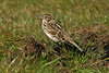 Lapland Bunting Crosby April 2005