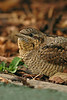Wryneck 2 Horwich September 2005