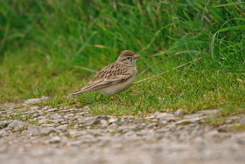 Short-toed Lark Great Orme September 2006