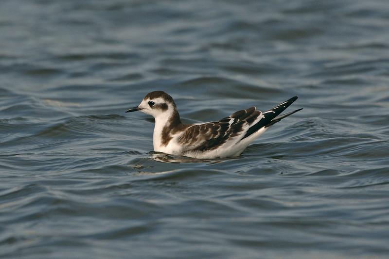 Little Gull juvenile 1 Crosby September 2005