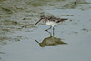 Broad-billed Sandpiper 2 Drayton Bassett June 2004