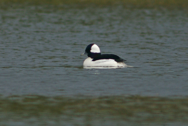 Bufflehead 2 Pugney's CP April 2004