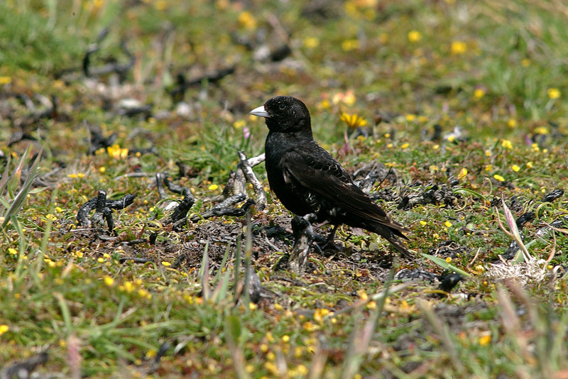 Black Lark 2 Anglesey June 2003