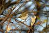 Hume's Yellow-browed Warbler Caernarfon December 2003