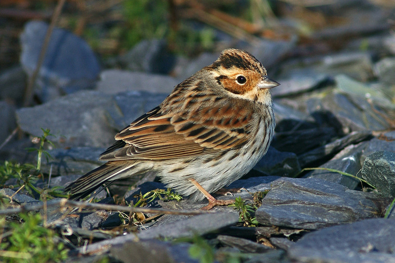 Little Bunting 2 Anglesey February 2004