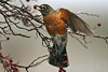 American Robin 2 Grimsby January 2004
