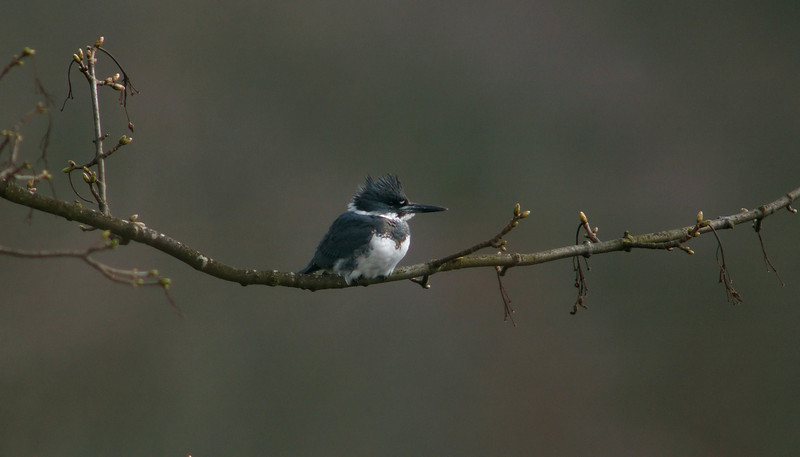 Belted Kingfisher 2 Peterculver April 2005