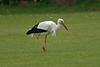 White Stork Barnton April 2004