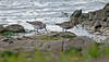 White-rumped Sandpiper with Dunlin Spurn July 2003