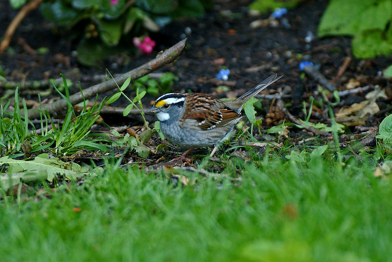 White-throated Sparrow 3 Caldy May 2003